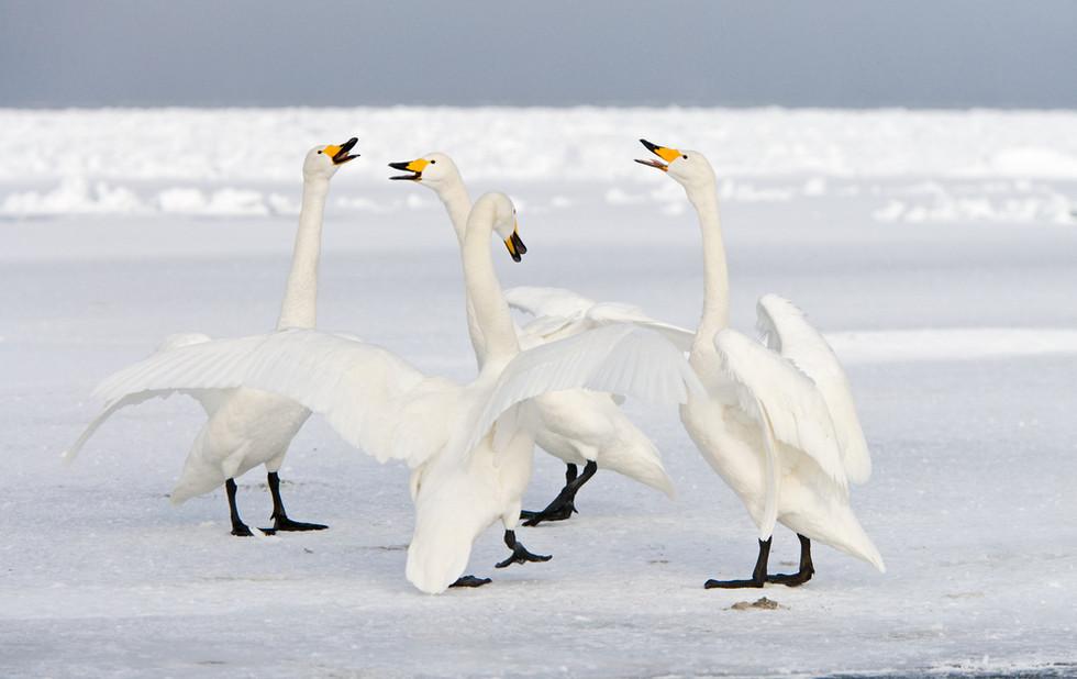 _X0A3054 Swan pairs displaying