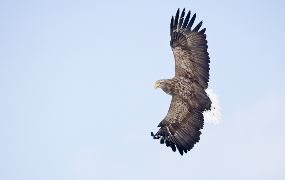_93C3346 Eagle about to dive
