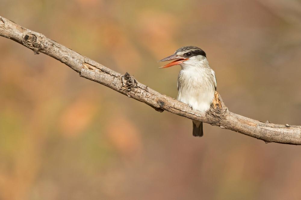 _A5A2257 Striped Kingfisher.jpg