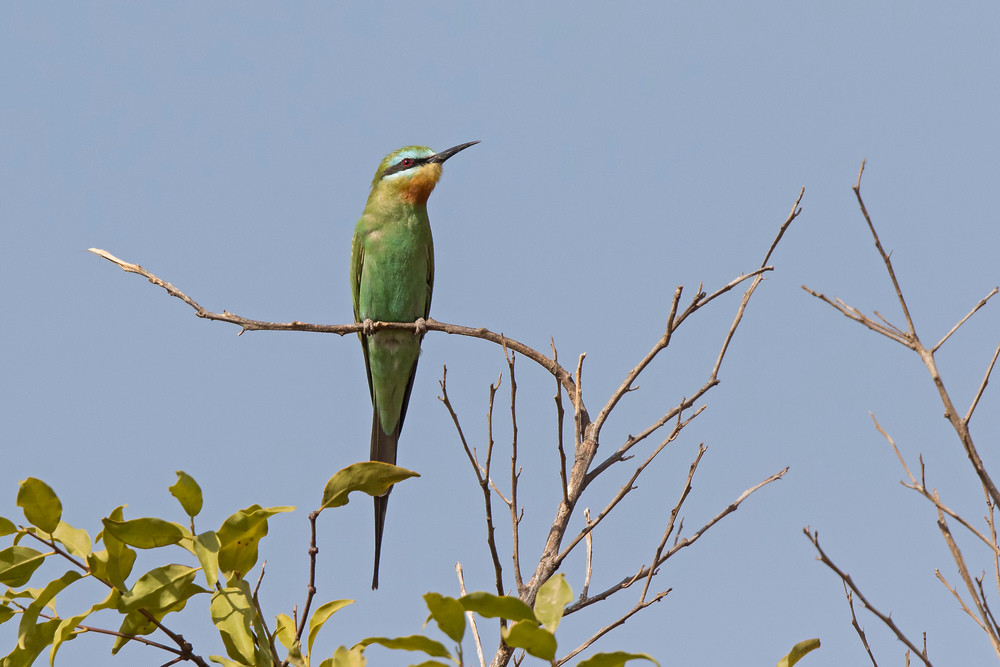 _A5A8701 Blue-cheeked Bee Eater.jpg