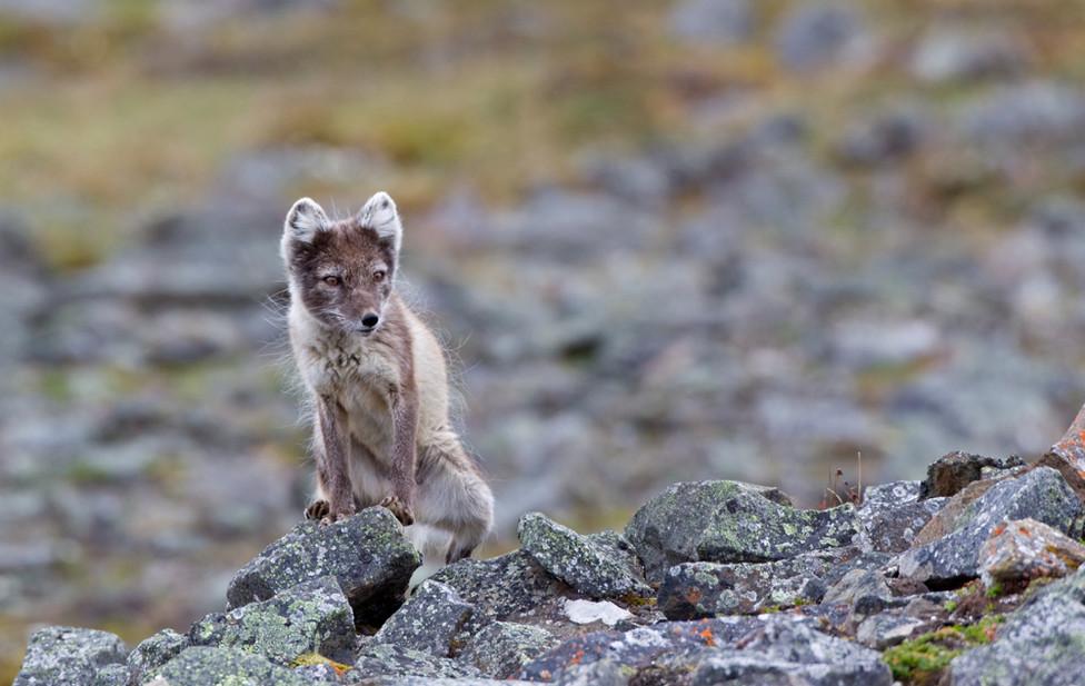 04 Arctic Fox.jpg