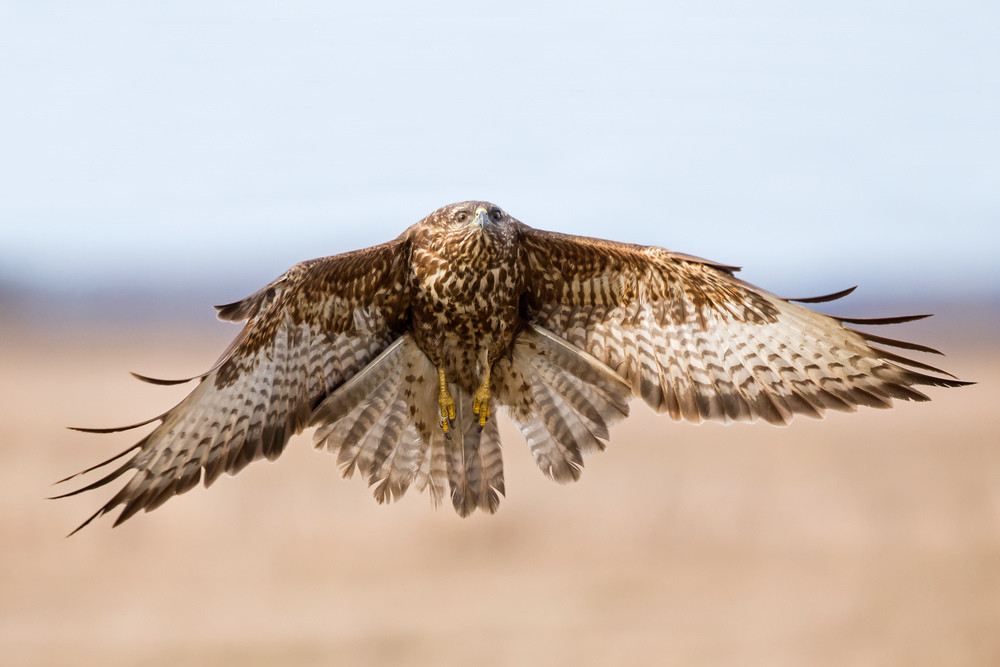 _H2P2661 Common Buzzard