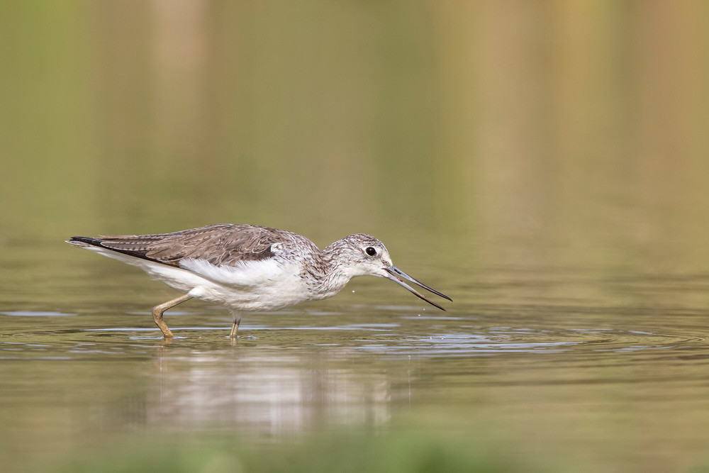 _A5A3713 Greenshank with worm.jpg