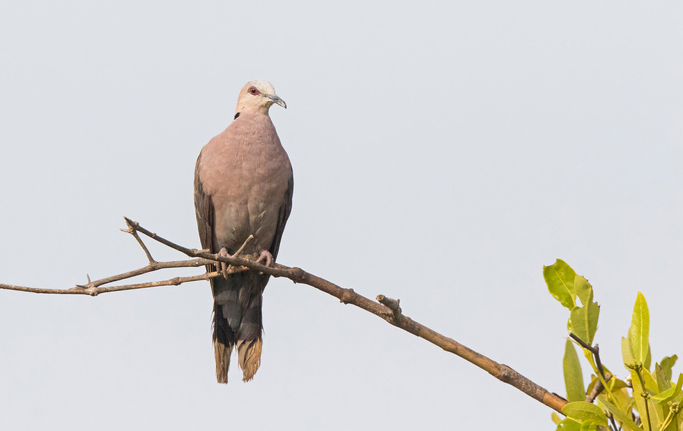 _A5A4509 Red-eyed Dove.jpg