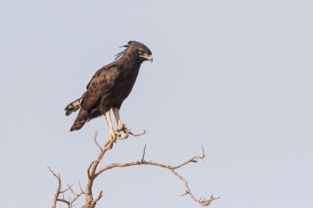 _A5A9625 Long-crested Eagle.jpg