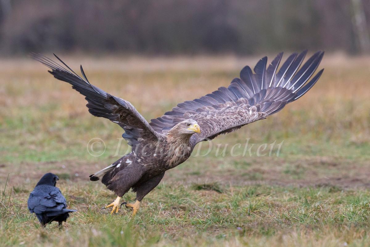 _H2P0334 Eagle take off.jpg