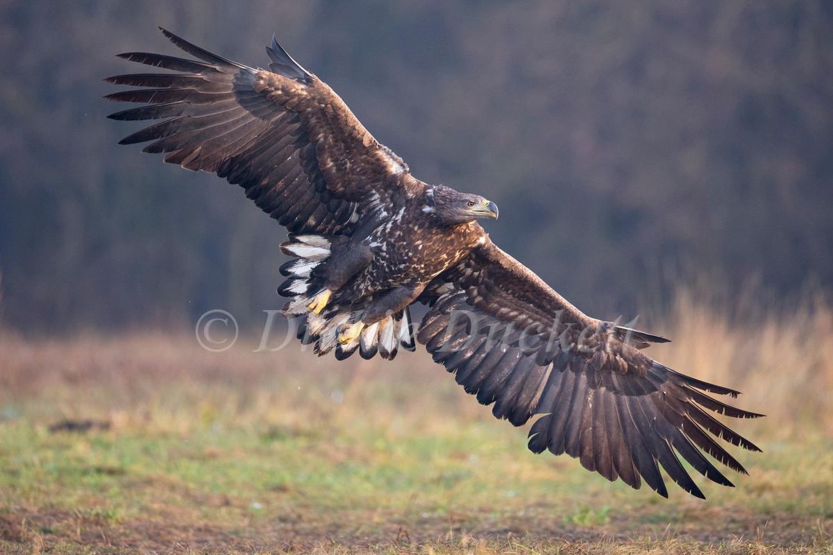 _H2P5407 Eagle in flight
