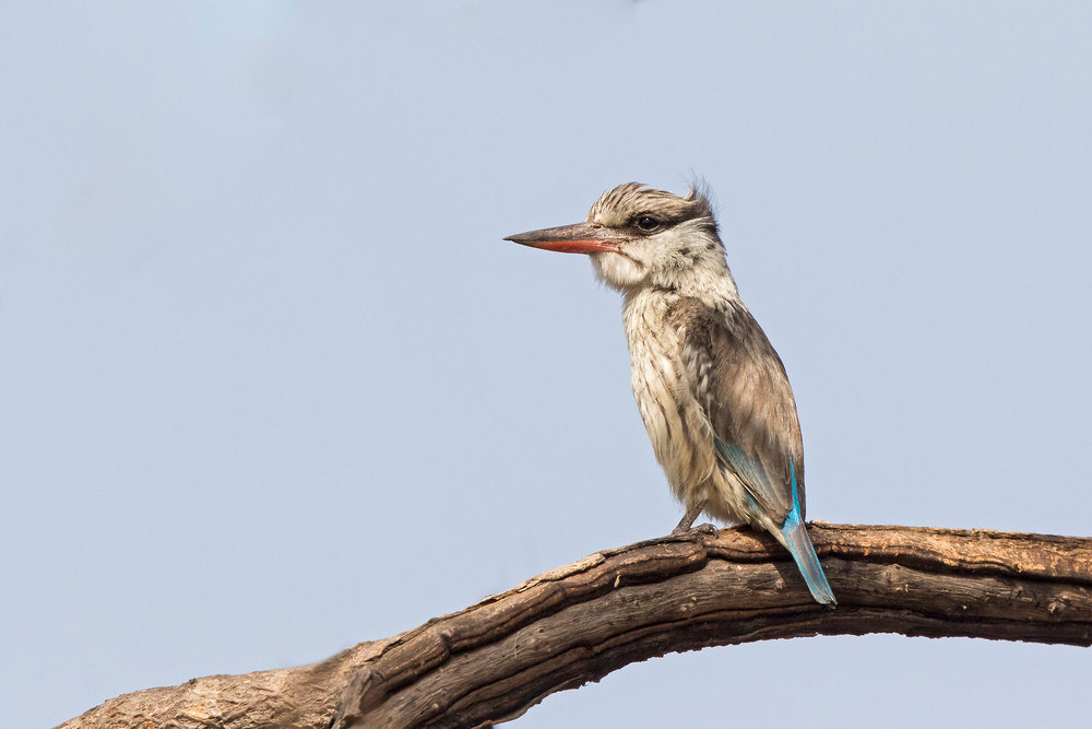_A5A9670 Striped Kingfisher.jpg