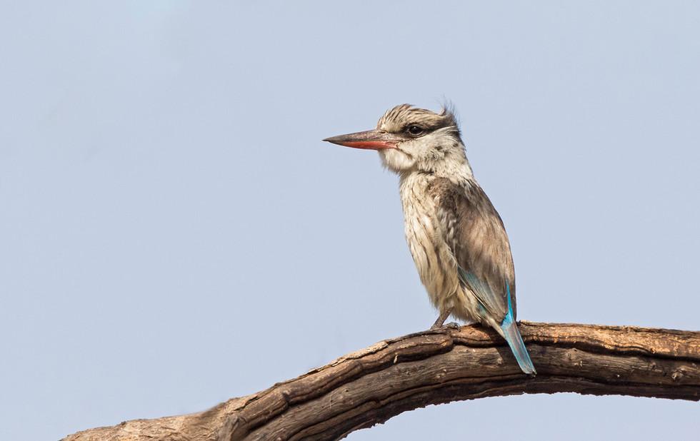 _A5A9670 Striped Kingfisher.jpg
