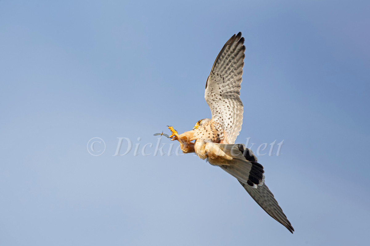 _H2P1531 Kestrel grabbing Mayfly (canvas