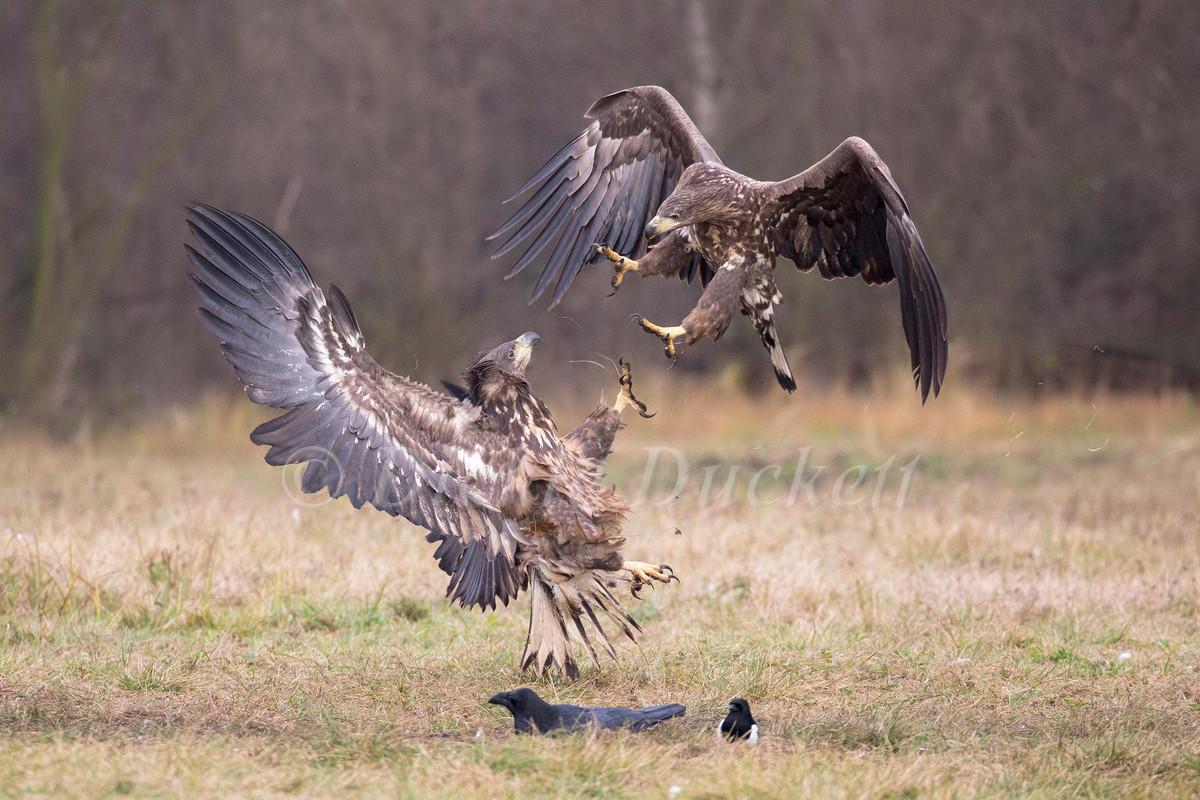 _H2P2510 Eagles fighting.jpg