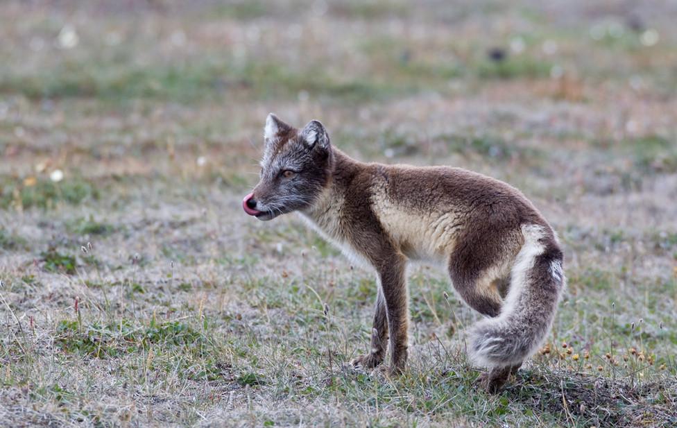 03 Arctic Fox.jpg