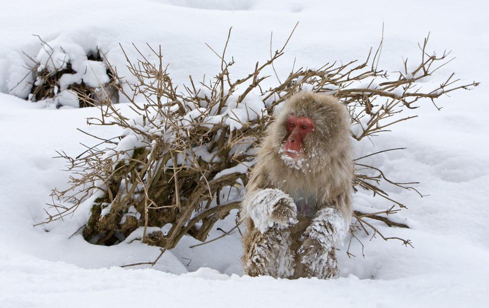 _93C1939 Monkey in snow by bush.jpg