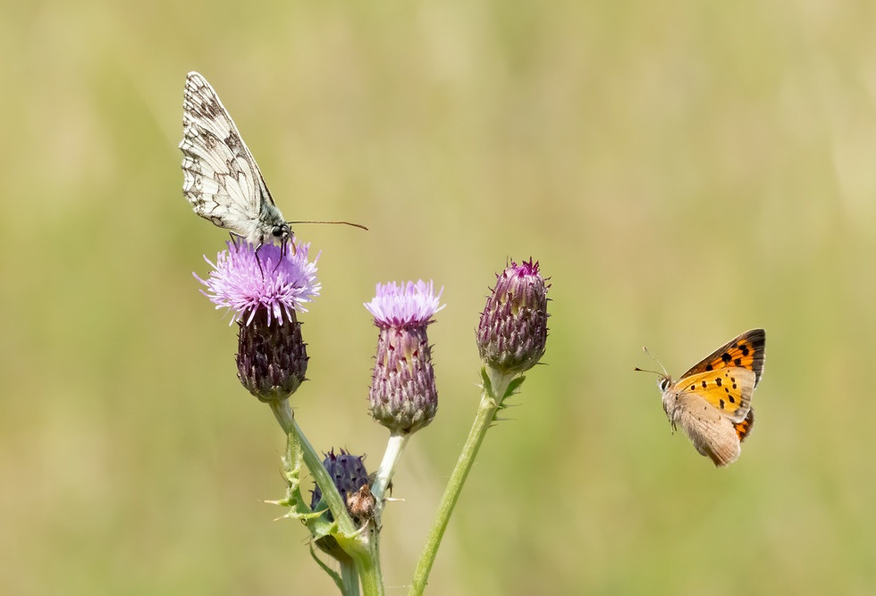 _6244279 Marbled White + Small Copper.jp