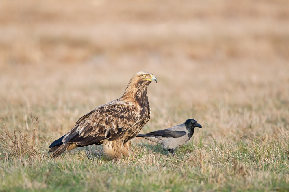 _H2P3365 Imperial Eagle with Crow on gra