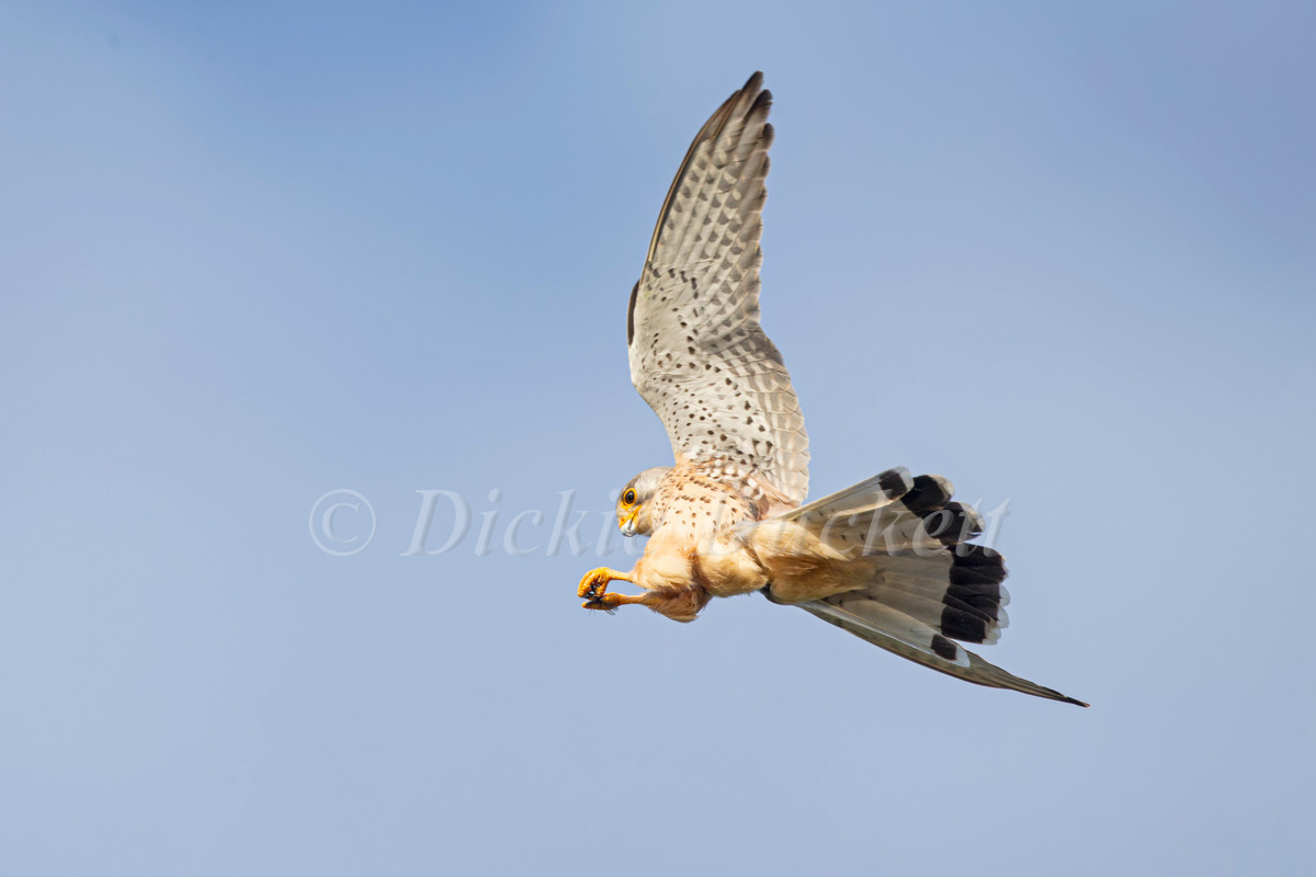 _H2P1532 Kestrel with Mayfly.jpg