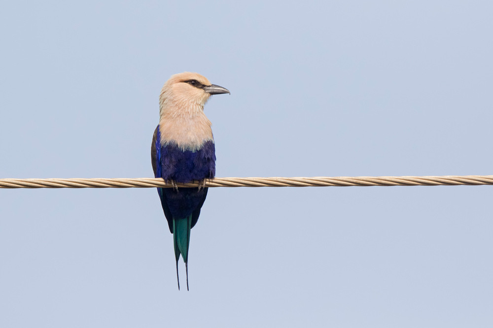 _A5A4764 Blue-breasted Roller on wire.jp