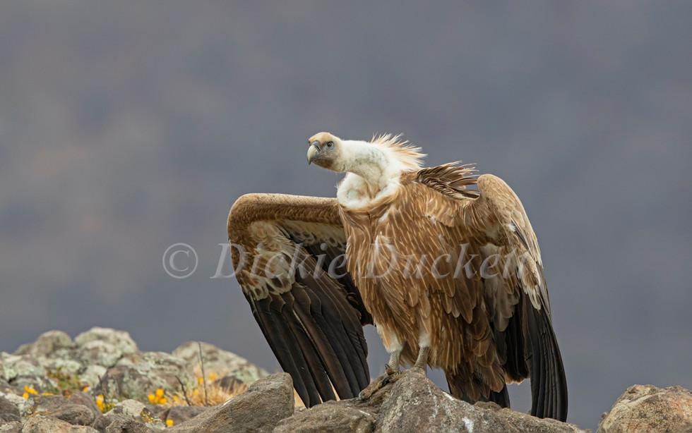 _I8A3863 Griffon on rocks wings part spr