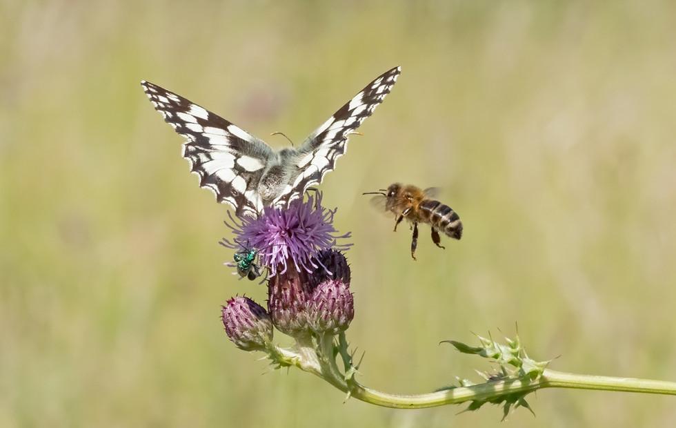 _6230816 Marbled White + Honey Bee.jpg