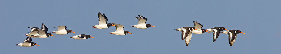 _13C1070 Oystercatchers in flt (Banner).