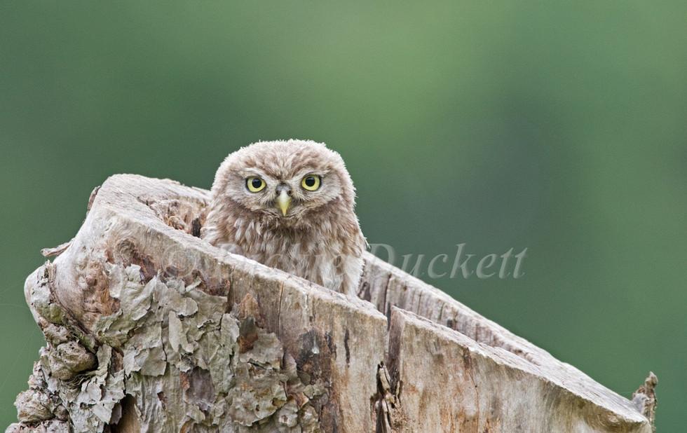 _X0A0286 Owlet peering out.jpg