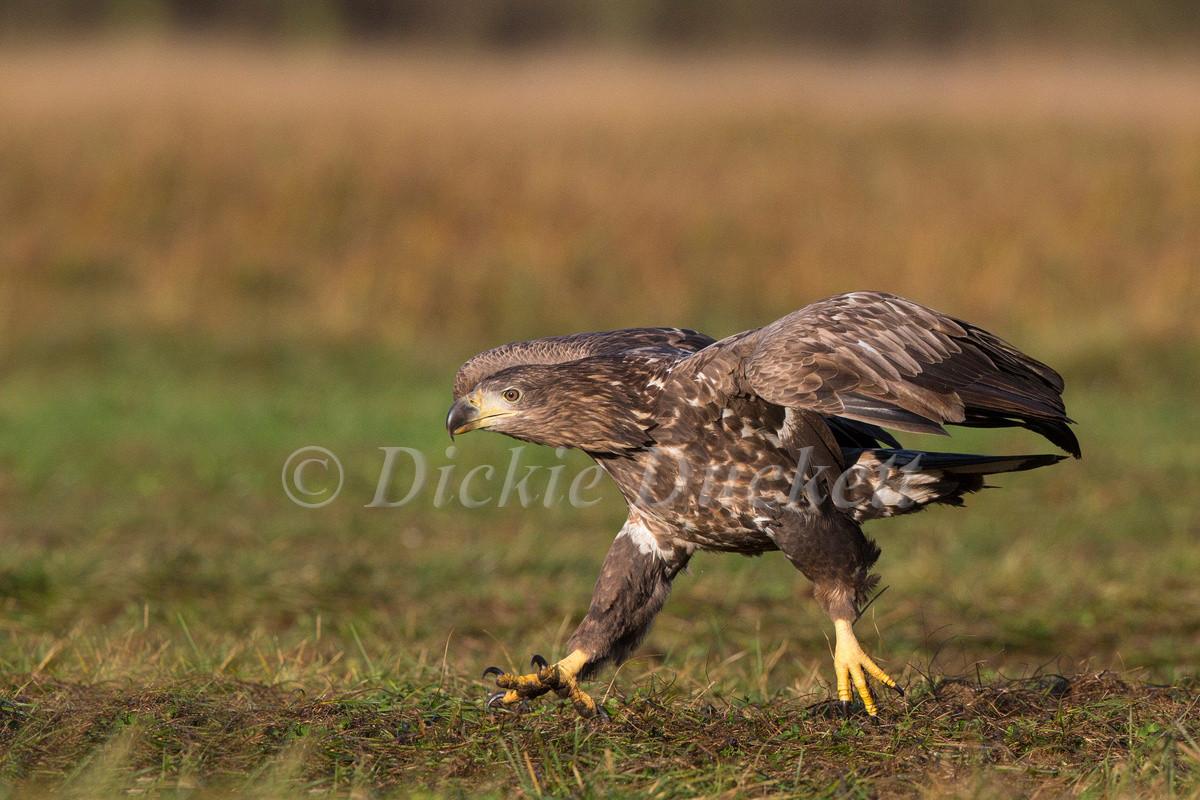 _H2P0042 Eagle juvenile walking.jpg