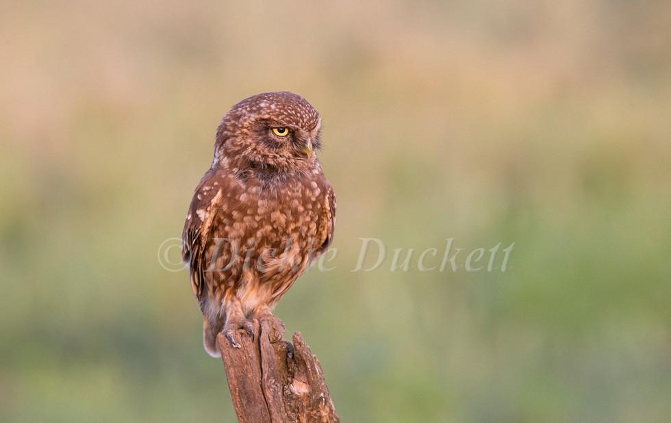 _H2P2209 Little Owl (dark one) perched.j