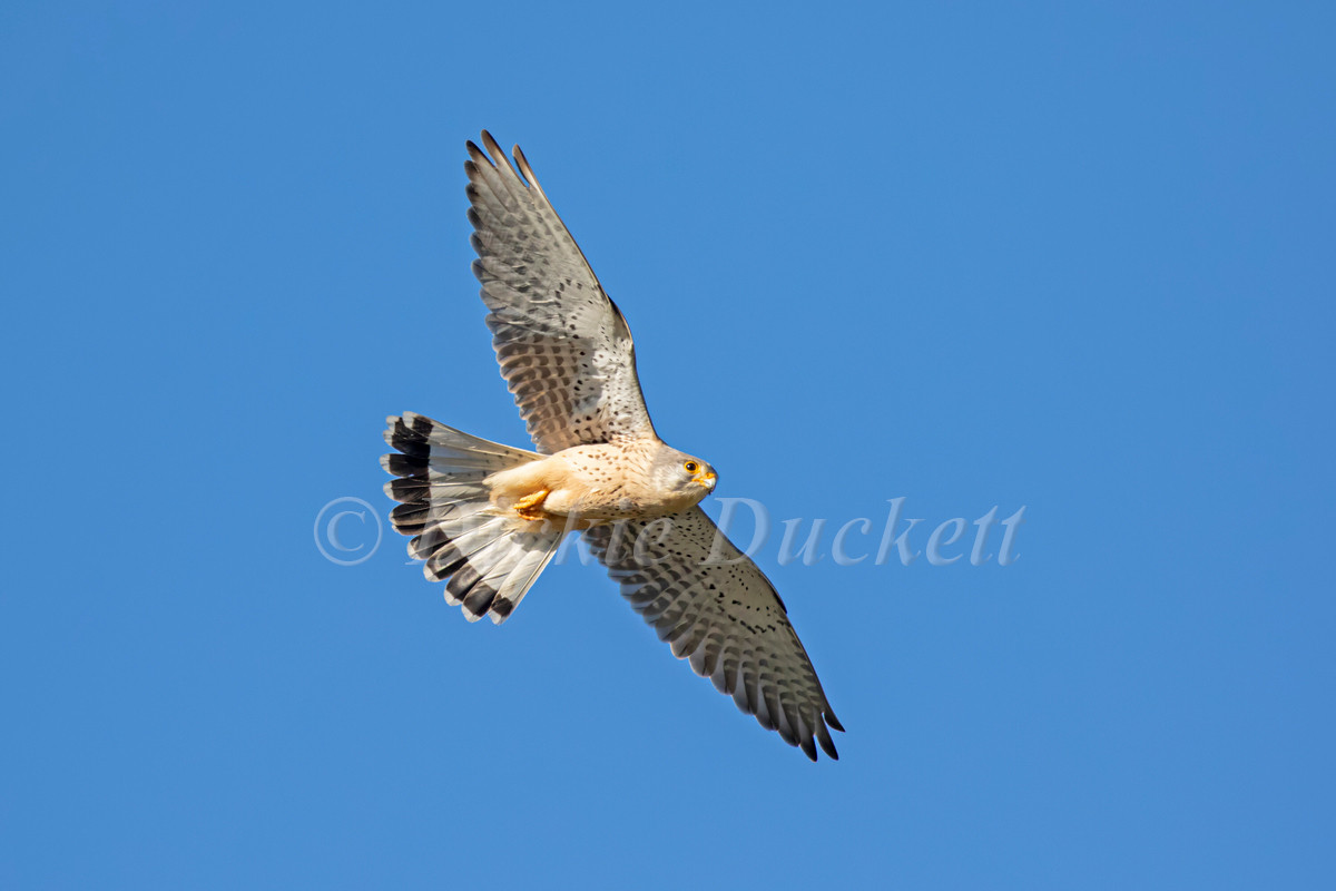 _A5A7150 Kestrel in pursuit of Mayflies.