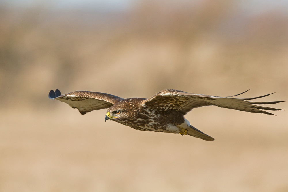 _H2P2361 Common Buzzard