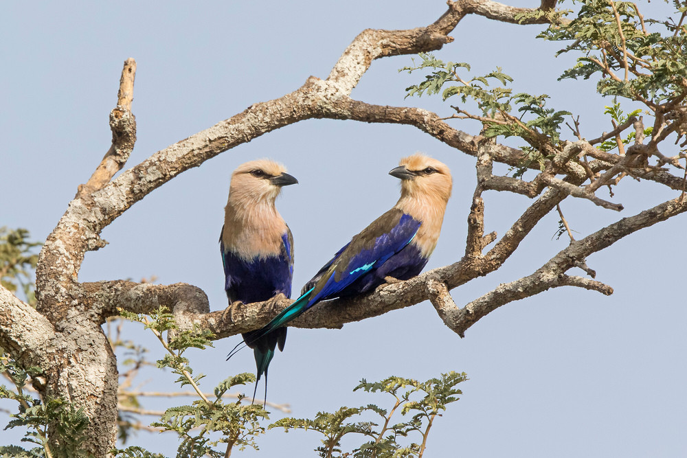 _A5A2457 Blue-breasted Roller pair.jpg