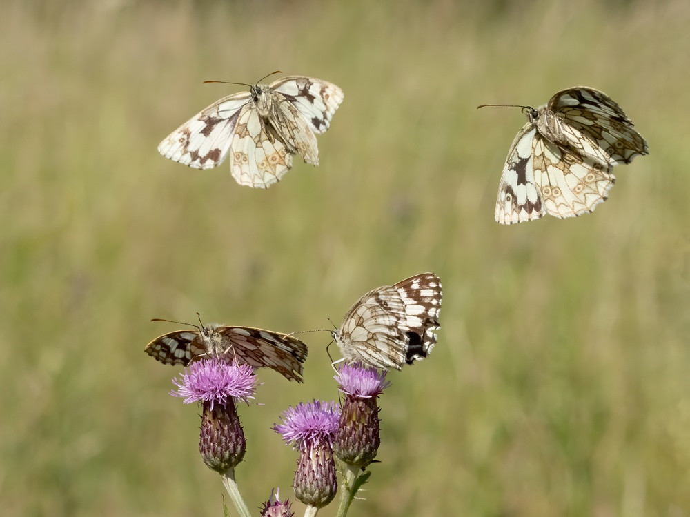 _6254973 Marbled Whites x 2 over MW x 2