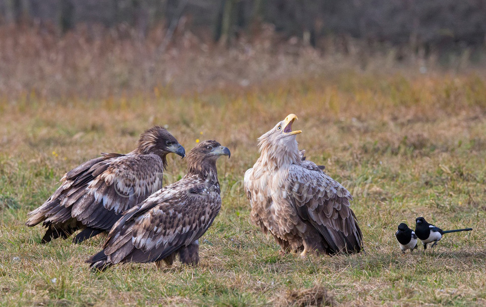 _H2P1435 Adult with juvenile Eagles.jpg