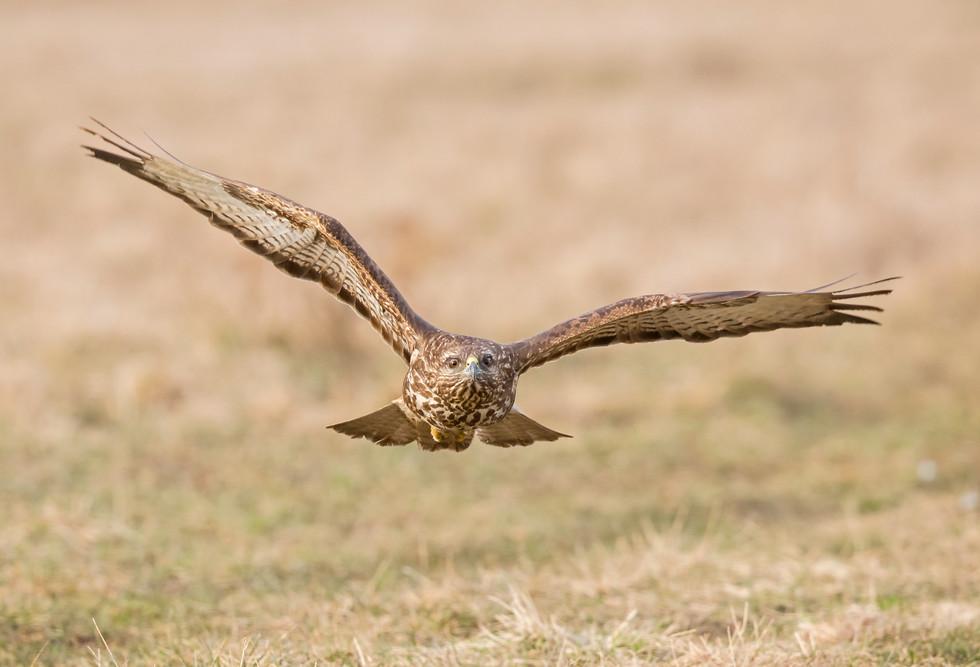 _H2P2653 Common Buzzard