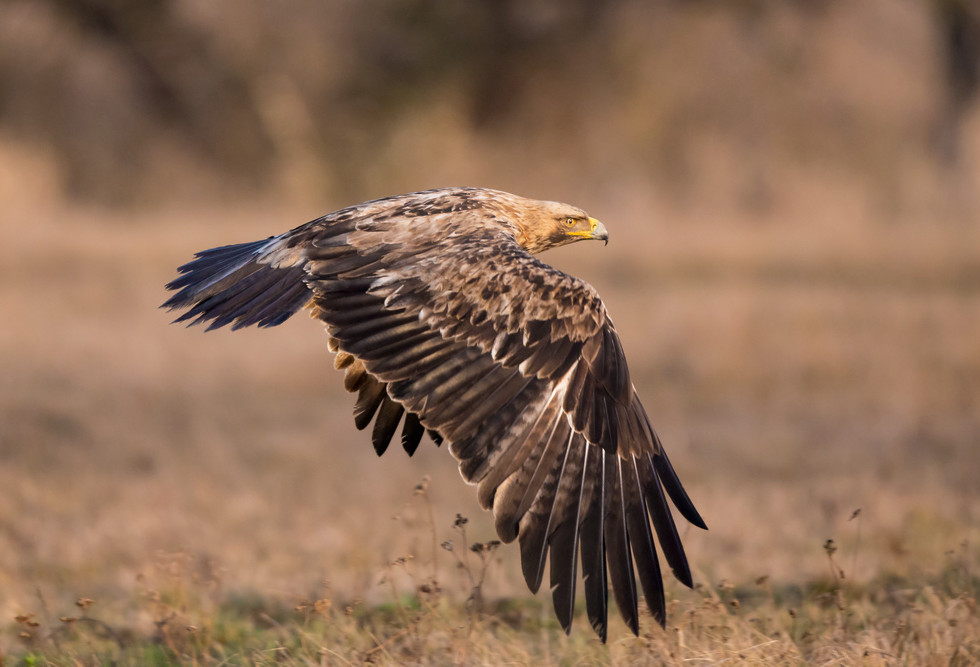 _H2P3245 Imperial Eagle low.jpg