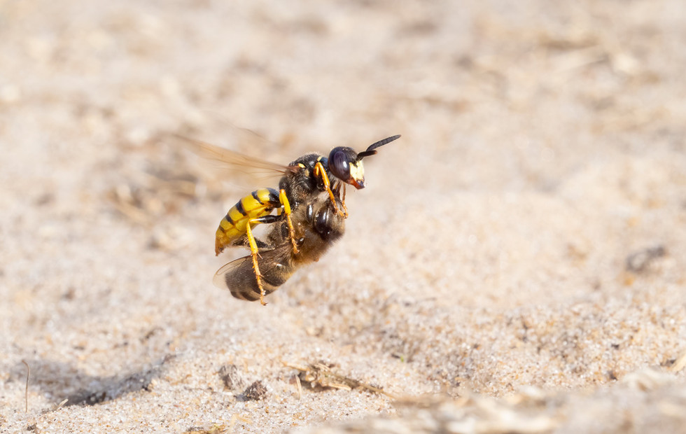 _7079309 Bee Wolf in flt with bee OK.jpg