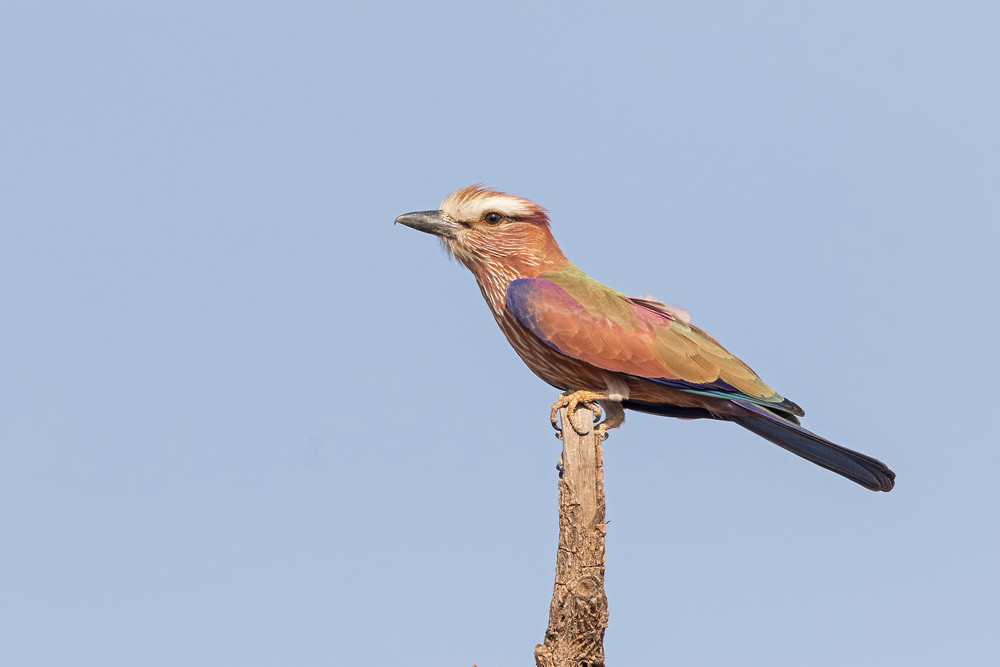 _A5A8800 Rufous-crowned Roller.jpg
