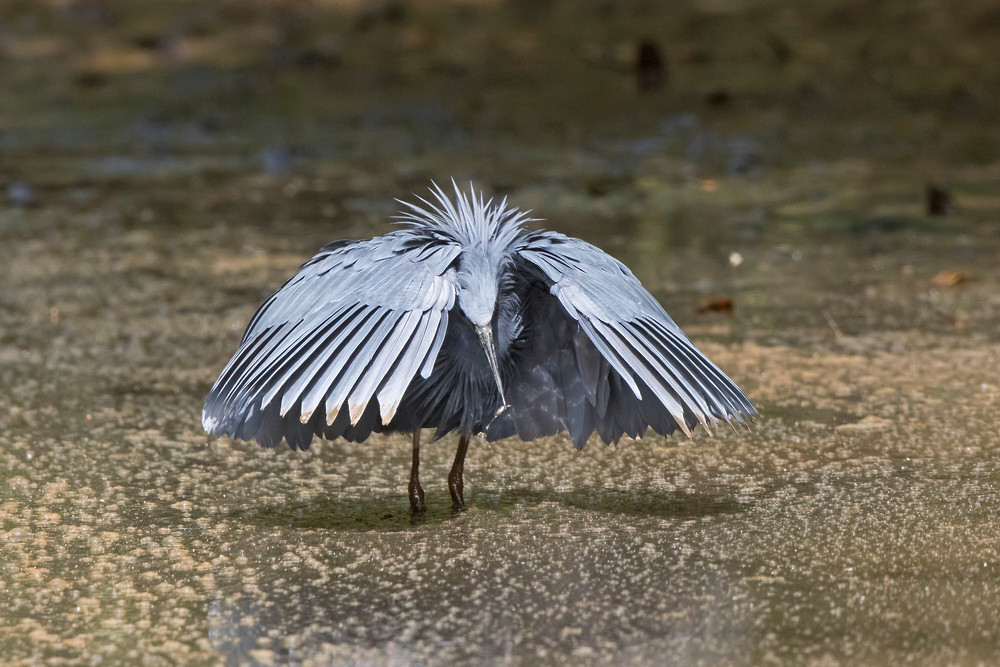 _A5A3038 Black Heron with fish.jpg