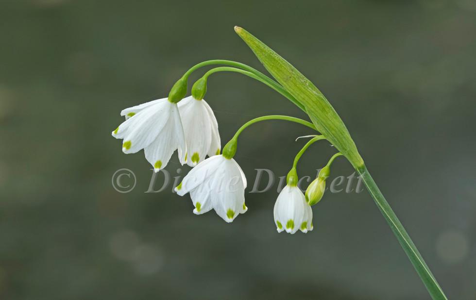 _A5A5391 Loddon Lily flowers.jpg