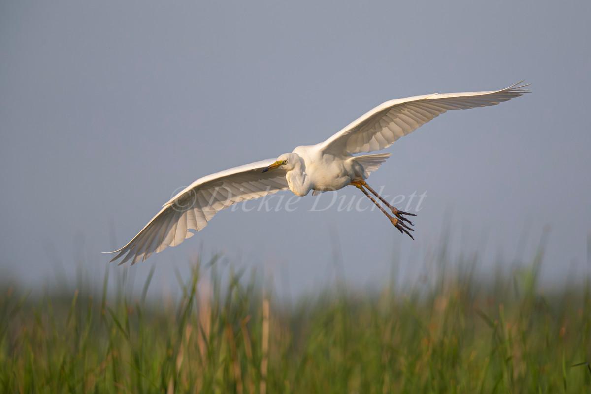 _H2P0952 GW Egret descending to reedbed.