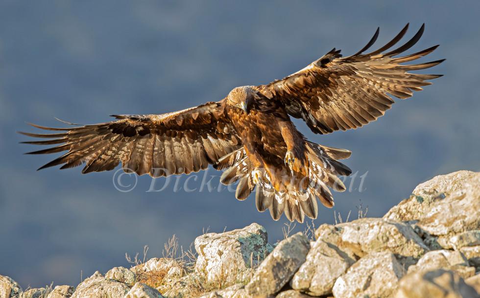 _I8A4109 Golden Eagle landing.jpg
