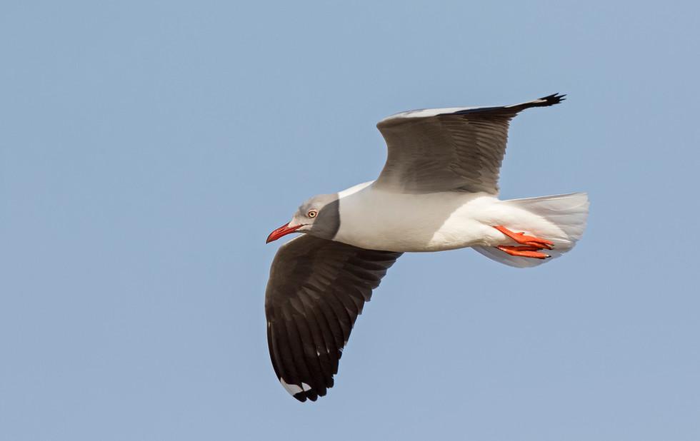 _A5A7542 Grey-headed Gull.jpg