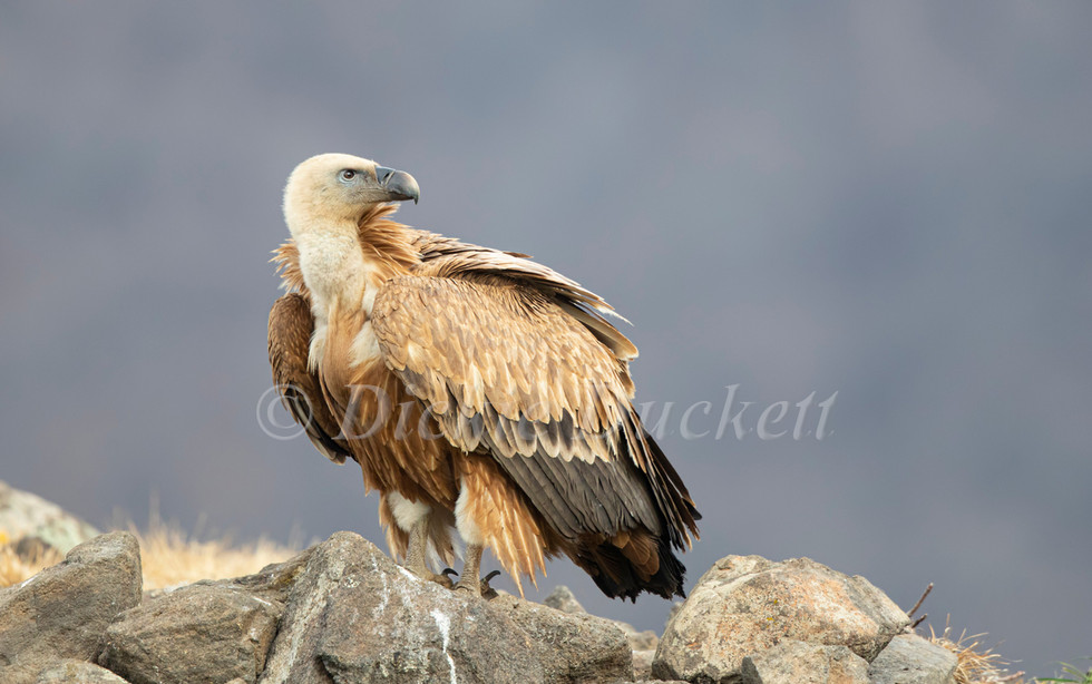 _I8A3905 Griffon on rocks looking over s