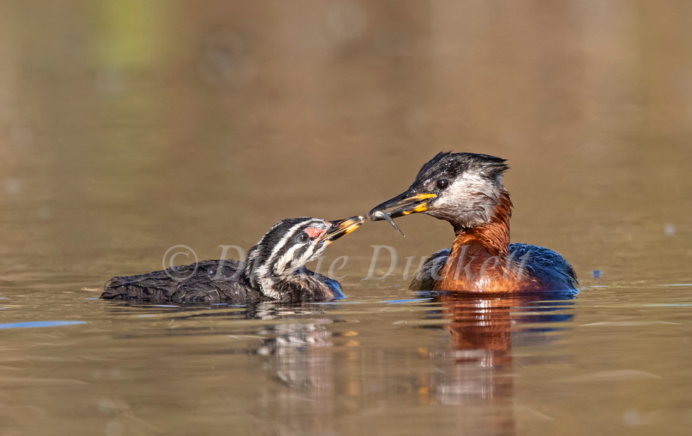 _A5A3093 Adult with chick.jpg
