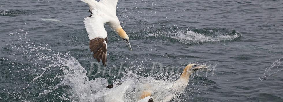 03 Gannets Bempton.jpg