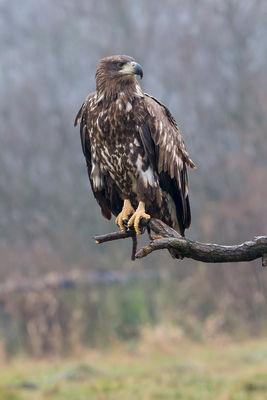 _H2P3560 Eagle in rain (60th).jpg