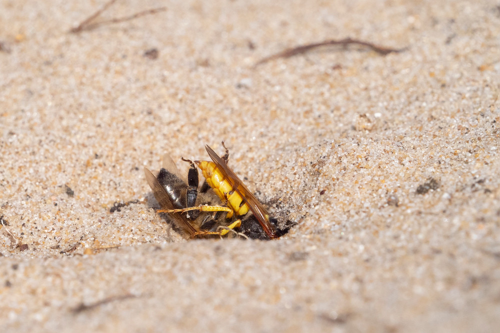 _7079083 Bee Wolf burying Bee.jpg