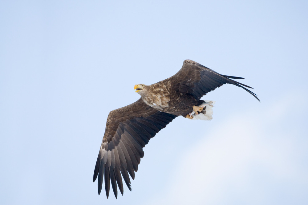 _93C3314 Eagle calling with fish in talons                     jpg