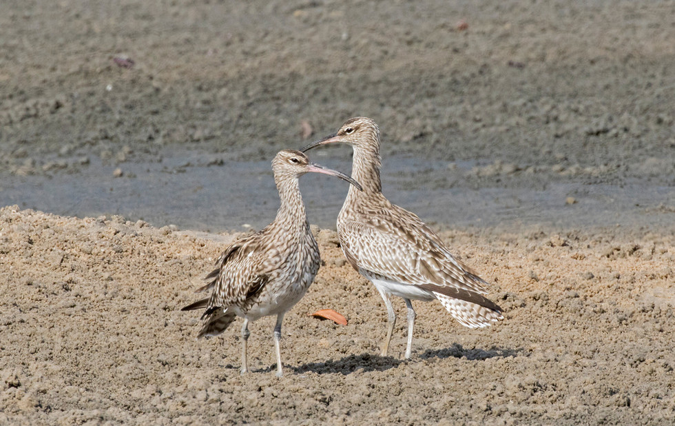 _A5A4814 Pair of Whimbrel.jpg