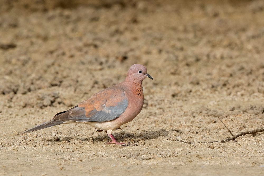 _A5A4638 Laughing Dove.jpg