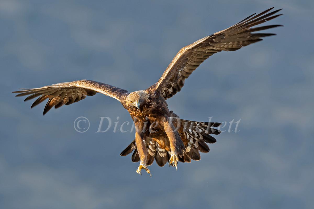 _I8A4108 Golden Eagle landing (clone).jp